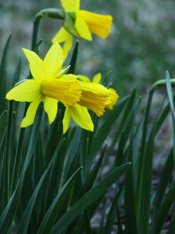 Many Daffodils